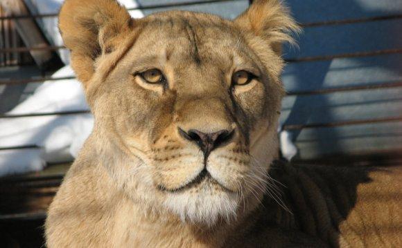Львы в Пермском зоопарке